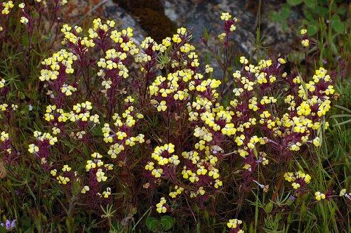 Butter n Eggs - Triphysaria eriantha eriantha - Railroad Flat CA 4-10  4-11-10_047.jpg
