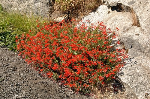 California Fushia - Epilobium canum latifolium - Sequoia NP CA 8-31-10 2_089.jpg