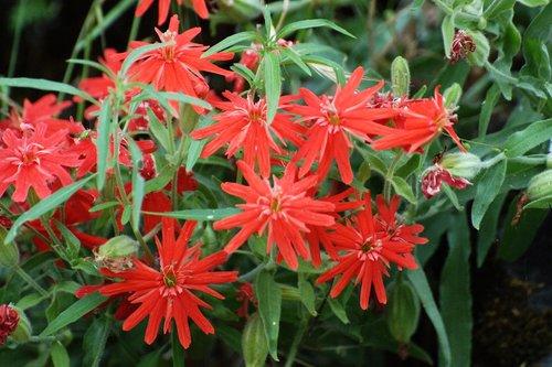 California Indian Pink - Silene laciniata californica - Yosemite CA 4-25-10_123.jpg