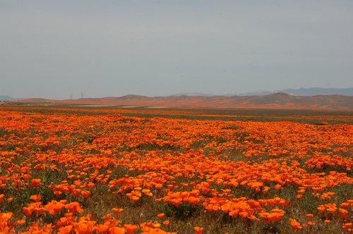 California Poppies - Eschscholzia californica - Antelope Valley CA 4-17-10_185.jpg
