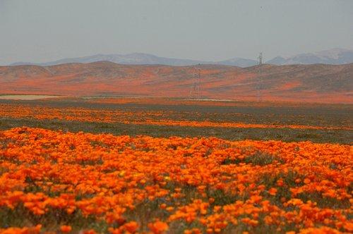 California Poppies - Eschscholzia californica - Antelope Valley CA 4-17-10_187.jpg
