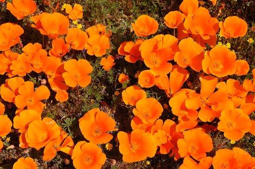 California Poppies - Eschscholzia californica - Antelope Valley CA 4-17-10_197.jpg