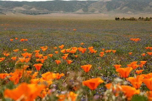 California Poppies - Eschscholzia californica - Antelope Valley CA 4-17-10_204.jpg