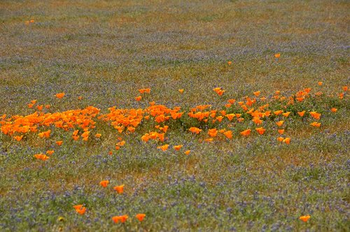 California Poppies - Eschscholzia californica - Antelope Valley CA 4-17-10_216.jpg
