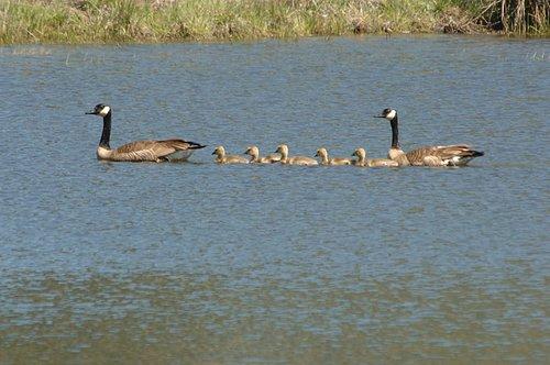 Canadian Geese - Branta canadensis - Greely Hill CA 4-26-08 2_043.jpg