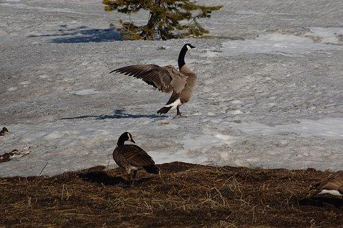Canadian Geese - Branta canadensis - Lake Alpine CA 4-27-09_015.jpg