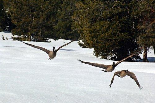 Canadian Geese - Branta canadensis - Lake Alpine CA 5-29 THRU 5-31-10_122.jpg
