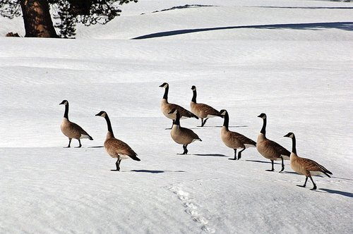 Canadian Geese - Branta canadensis - Lake Alpine CA 5-29 THRU 5-31-10_129.jpg