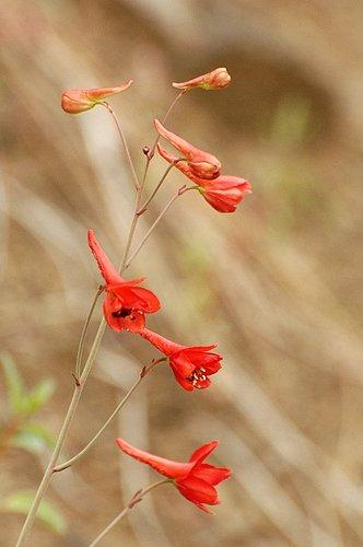 Canyon Larkspur - Delphinium nudicaule - Del Puerto Canyon CA 4-2-10_080.jpg