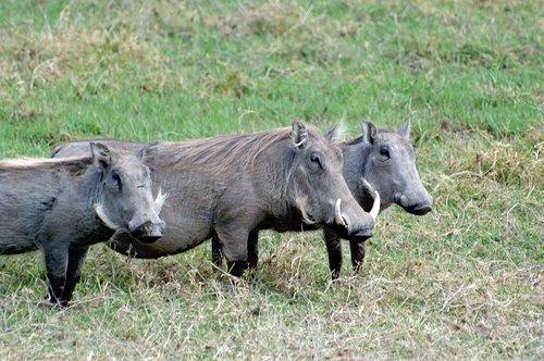 Central African Warthog - Phacochoerus africanus massaicus - Amboseli NP Kenya 10-10-07_218.jpg