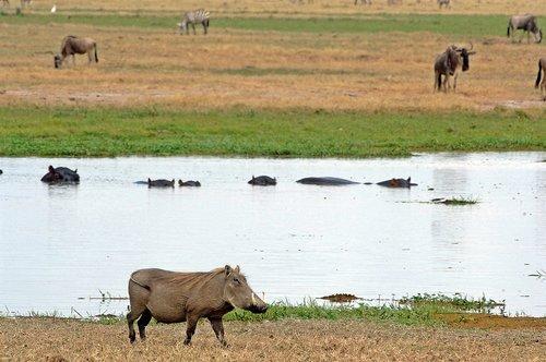 Central African Warthog - Phacochoerus africanus massaicus - Amboseli NP Kenya 10-10-07_322.jpg