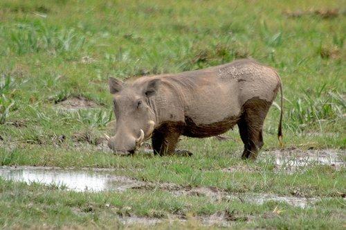 Central African Warthog - Phacochoerus africanus massaicus - Amboseli NP Kenya 10-10-07_348.jpg