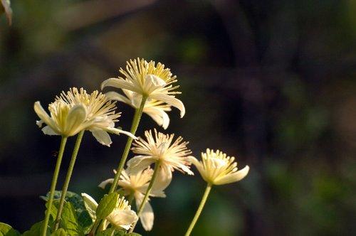 Chaparral Clematis - Clematis lasiantha  - Redwood City CA 3-27-10_011.jpg