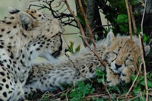Cheetah with cub - Acinonyx jubatus - Masai Mara Kenya 10-7-07_132.jpg