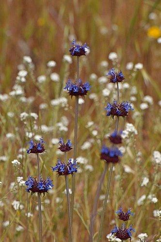Chia Sage - Salvia columbariae - Avanella Wildflower Area CA 4-3-10_340.jpg