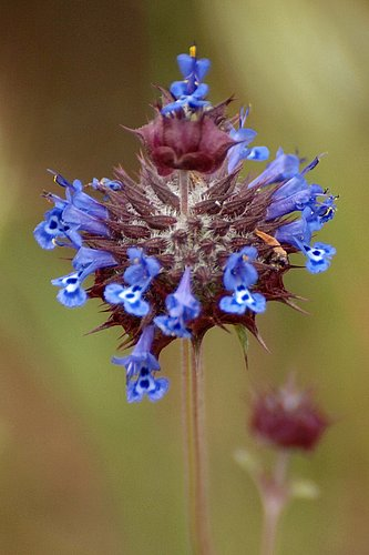 Chia Sage - Salvia columbariae - Del Puerto Canyon CA 4-2-10_326.jpg
