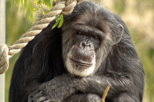 Chimpanzee - Pan troglodytes - San Francisco CA 10-8-09_204.jpg
