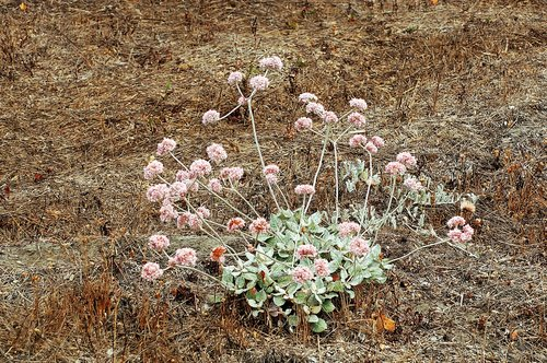 Coast Buckwheat - Eriogonum latifolium - Humbolt Bay CA 9-7-09_042.jpg