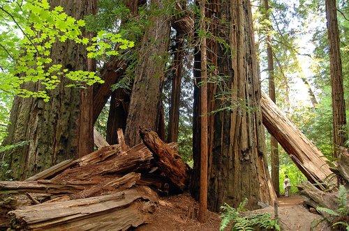 Coast Redwood - Sequoia sempervirens - Redwood National Park CA 9-9-09_076.jpg