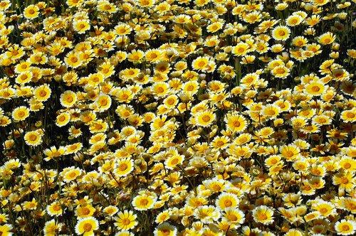 Coastal Tidy Tips - Layia Platyglossa - Carrizo Plain CA 4-18-10_194.jpg