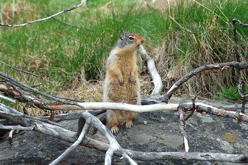 Columbian ground squirrel - Urocitellus columbianus - Alberta Canada 7-16-08 1_132.jpg