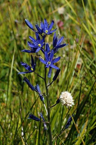 Common Camas - Camassia quamash - Crane Flat Yosemite NP CA 6-27-09_208.jpg
