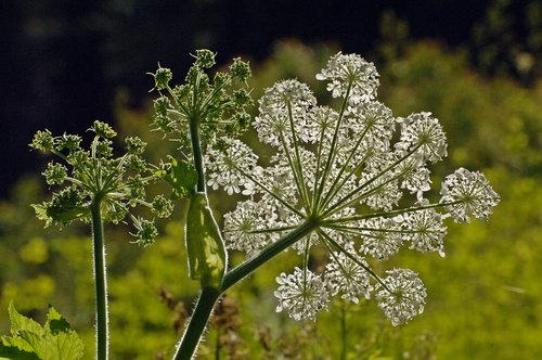 Common Cowparsnip - Heracleum maximum - Crane Flat Yosemite NP CA 6-27-09_119.jpg