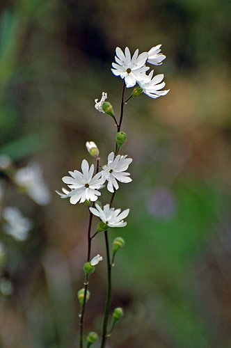 Common Woodland Star - Lithophragma affine - Del Puerto Canyon CA 4-2-10_085.jpg