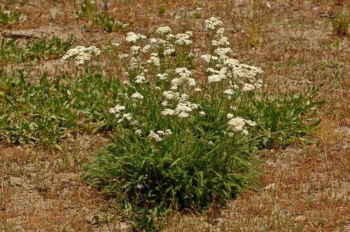 Common Yarrow - Achillea millefolium - Mosquito Lake CA 8-1-09_079.jpg