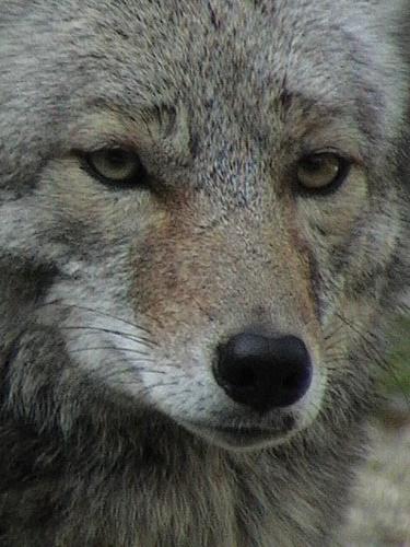 Coyote (Canis latrans) Yosemite Valley Ca 3-27-04_171 (2).jpg