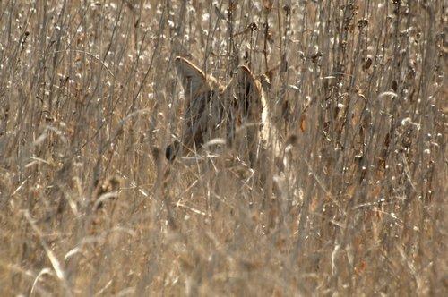 Coyote - Canis latrans - San Luis NWR CA 12-24-11_347.jpg