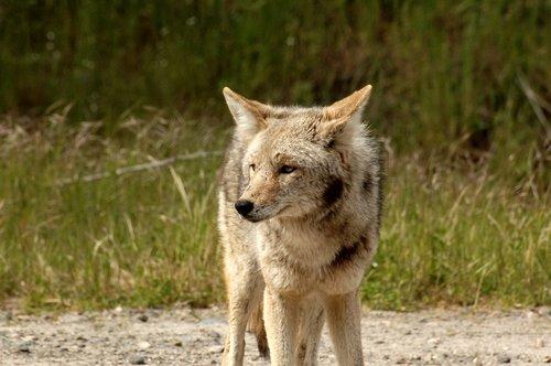 Coyote - Canis latrans - near Yosemite Valley CA 4-8-11 4-10-11_137.jpg