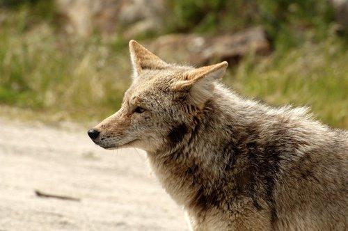 Coyote - Canis latrans - near Yosemite Valley CA 4-8-11 4-10-11_142.jpg