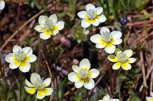 Cream Cups - Platystemon californicus - Geeley Hill CA 4-25-10_304.jpg