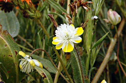 Cream Cups - Platystemon californicus - Santa Margerita CA 4-3-10_057.jpg