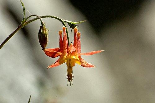 Crimson Columbine - Aquilegia formosa - Tioga Pass CA 6-27-09 2_014.jpg