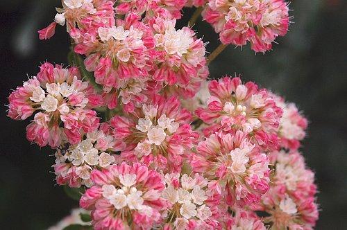 Cushion Buckwheat (Eriogonum ovalifolium) Grand Teton NP Wyoming 7-6-08_044.jpg