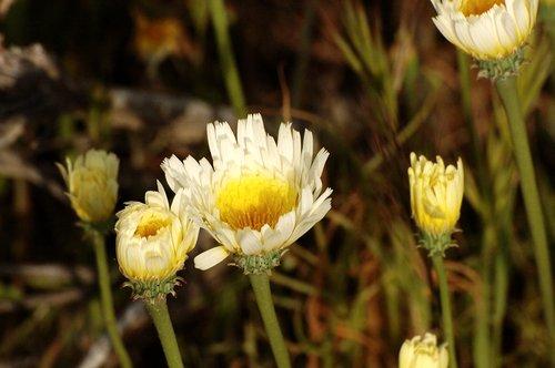 Desert Dandelion - Malacothrix glabrata - Carrizo Plain CA 4-17-10_080.jpg