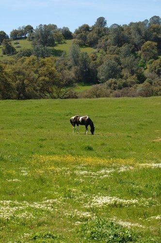 Domestic Horse - Equus ferus caballus - Chinese Camp CA 4-1-11_119.jpg
