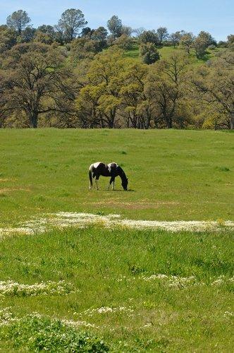 Domestic Horse - Equus ferus caballus - Chinese Camp CA 4-1-11_128.jpg