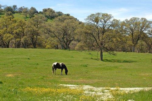 Domestic Horse - Equus ferus caballus - Chinese Camp CA 4-1-11_133.jpg