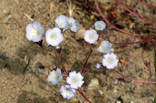 Douglas Phacelia - Phacelia douglasii - Avanella Wildflower Area CA 4-3-10_330.jpg