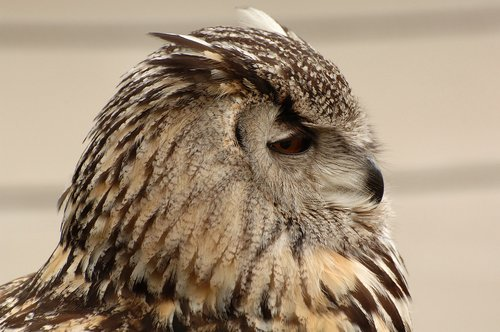 Eurasian Eagle Owl - Bubo bubo - Europe 5-15-10_214.jpg