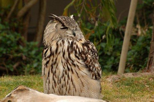 Eurasian Eagle Owl - Bubo bubo - Europe 5-15-10_219.jpg