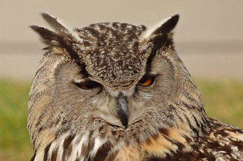 Eurasian Eagle Owl - Bubo bubo - Europe 5-15-10_226.jpg
