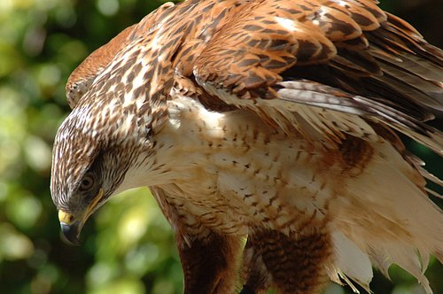Ferruginous Hawk - Buteo regalis - San Luis NWR - Los Banos CA 5-06_048 (2).jpg
