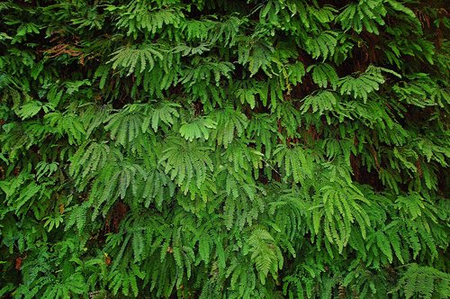 Five Finger Maidenhair - Adiantum aleuticum - Fern Canyon CA 9-11-09_136.jpg