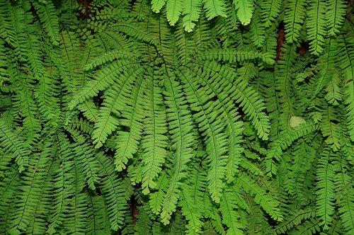 Five Finger Maidenhair - Adiantum aleuticum - Fern Canyon CA 9-11-09_138.jpg