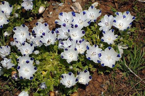 Five Spot - Nemophila maculata  - Greeley Hill  CA 4-25-10_282.jpg