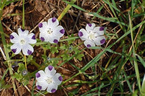 Five Spot - Nemophila maculate - Chinese Camp CA 1 4-16-11_307.jpg